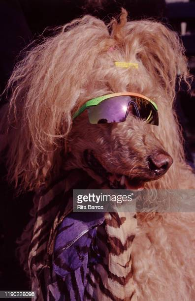 Closeup of a dog in sunglasses and a scarf New York New York 1994 The photo was taken as part of a story on canine fashions