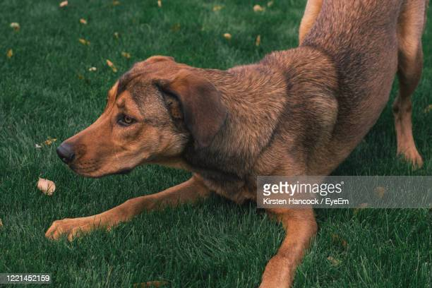 39 German Shepherd Short Hair Photos And Premium High Res Pictures Getty Images