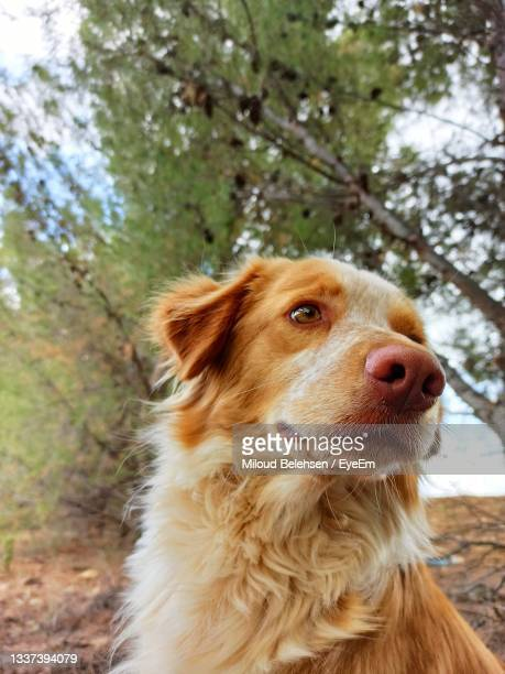 close-up of a dog looking away - sorghum stock pictures, royalty-free photos & images