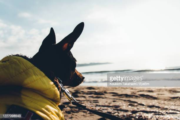 close-up of a dog on the beach - koukichi stock pictures, royalty-free photos & images