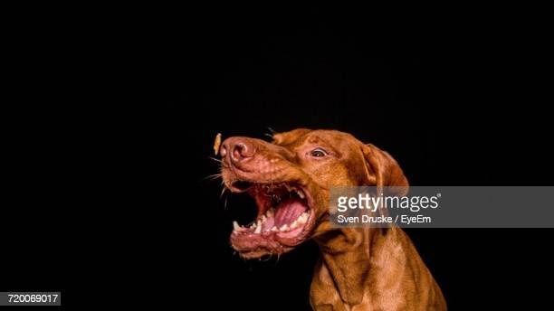 Close-Up Of A Dog Over Black Background