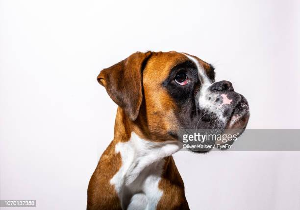 close-up of a dog over white background - boxer dog stock pictures, royalty-free photos & images