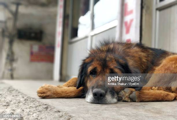 close-up of a dog resting on floor - shimla stock pictures, royalty-free photos & images