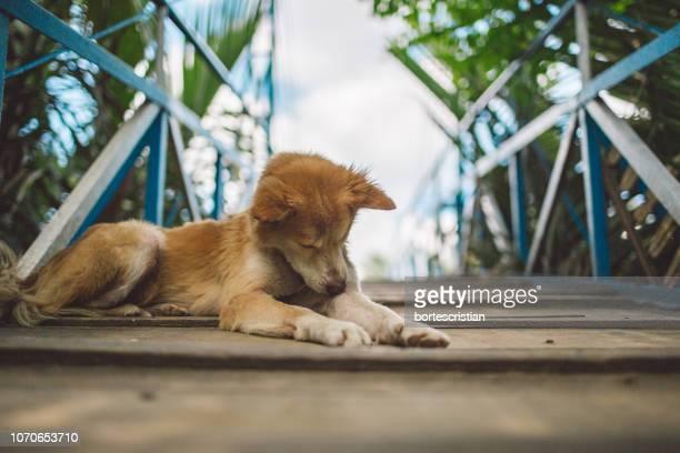 close-up of a dog resting - bortes bildbanksfoton och bilder