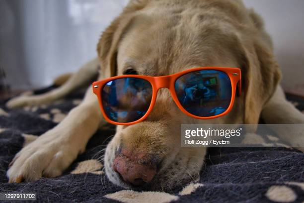 close-up of a dog wearing sunglasses - sankt poelten stock pictures, royalty-free photos & images