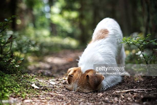 close-up of a dog while burrowing in a forest - digging stock pictures, royalty-free photos & images