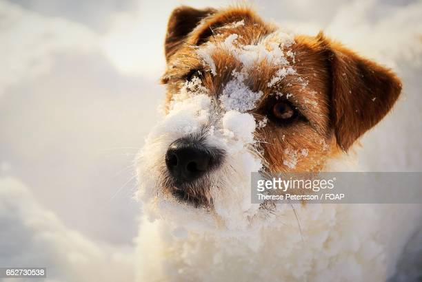 close-up of a dog with snow on its face - jack russell terrier stock photos and pictures