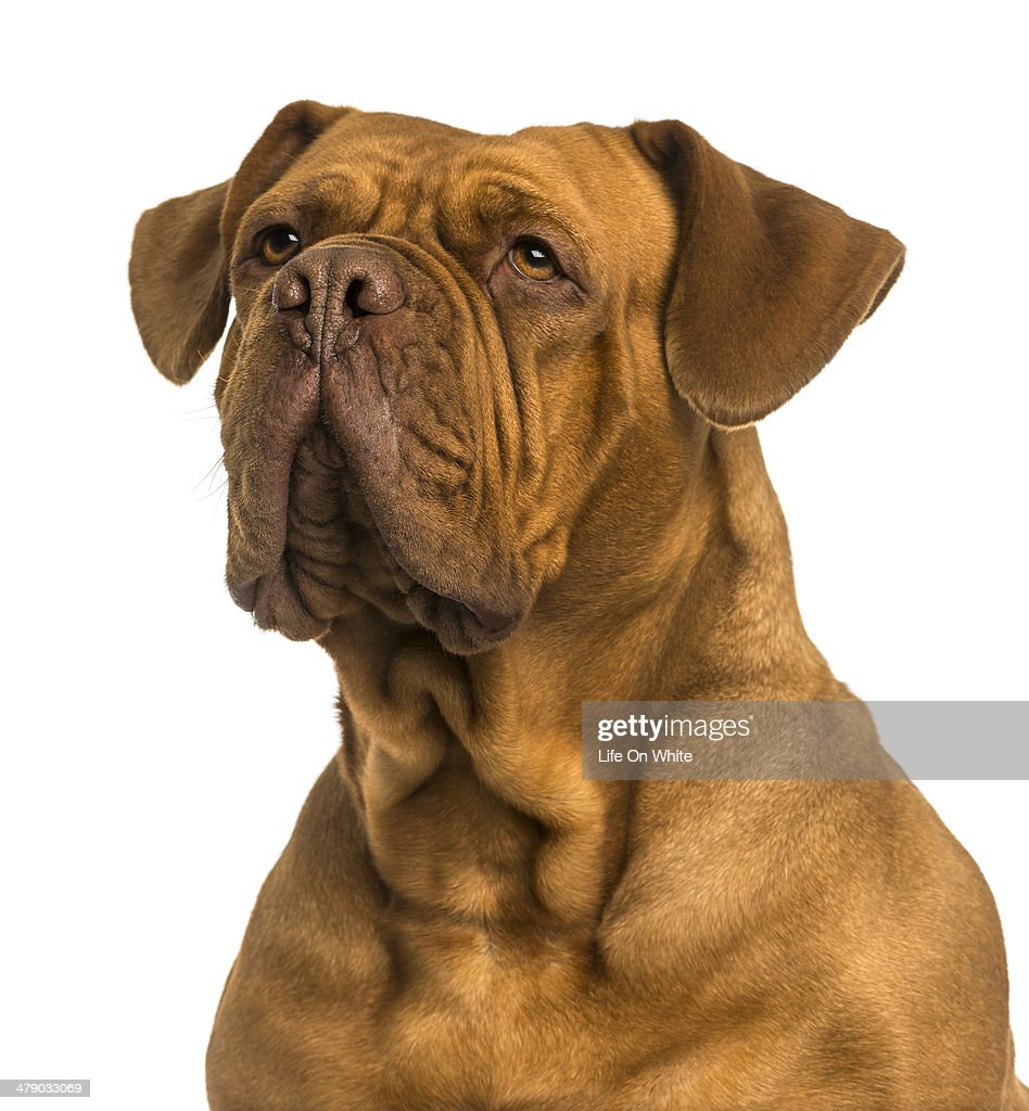 Close-up of a Dogue de Bordeaux looking away : Stock Photo