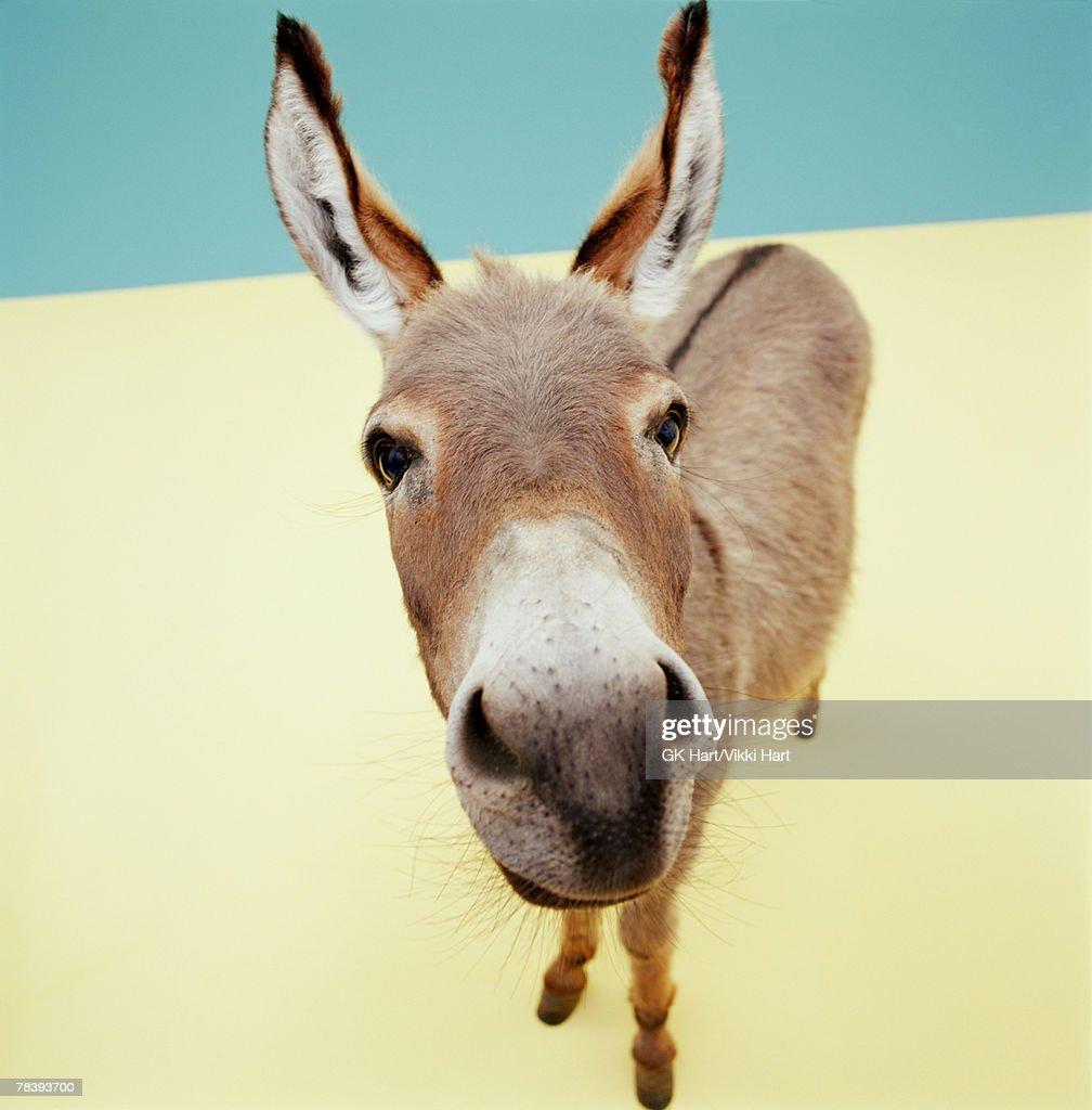 Closeup of a donkey : Stock Photo