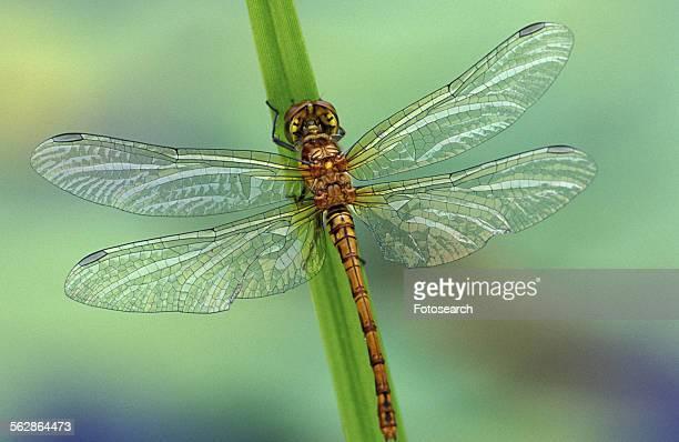 close-up of a dragonfly - dragonfly stock-fotos und bilder