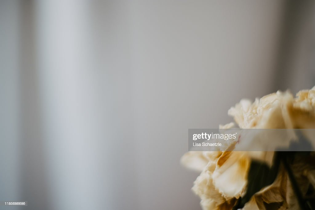 Close-Up of a Dried Flower on grey background : Stock Photo