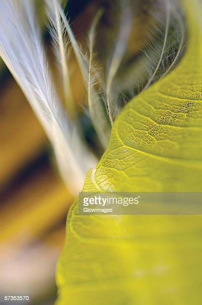 Close-up of a dried pipal leaf