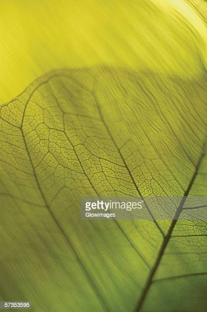 Close-up of a dried pipal leaf vein