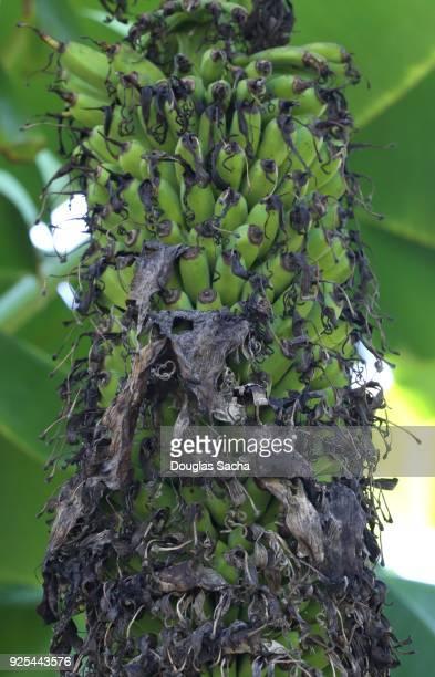 Close-up of a Dwarf Cavendish Banana tree (musa acuminata)