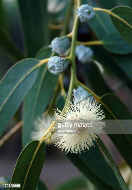 Close-up of a Eucalyptus plant and flower