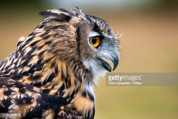 close-up of a eurasian eagle owl - snavel stockfoto's en -beelden