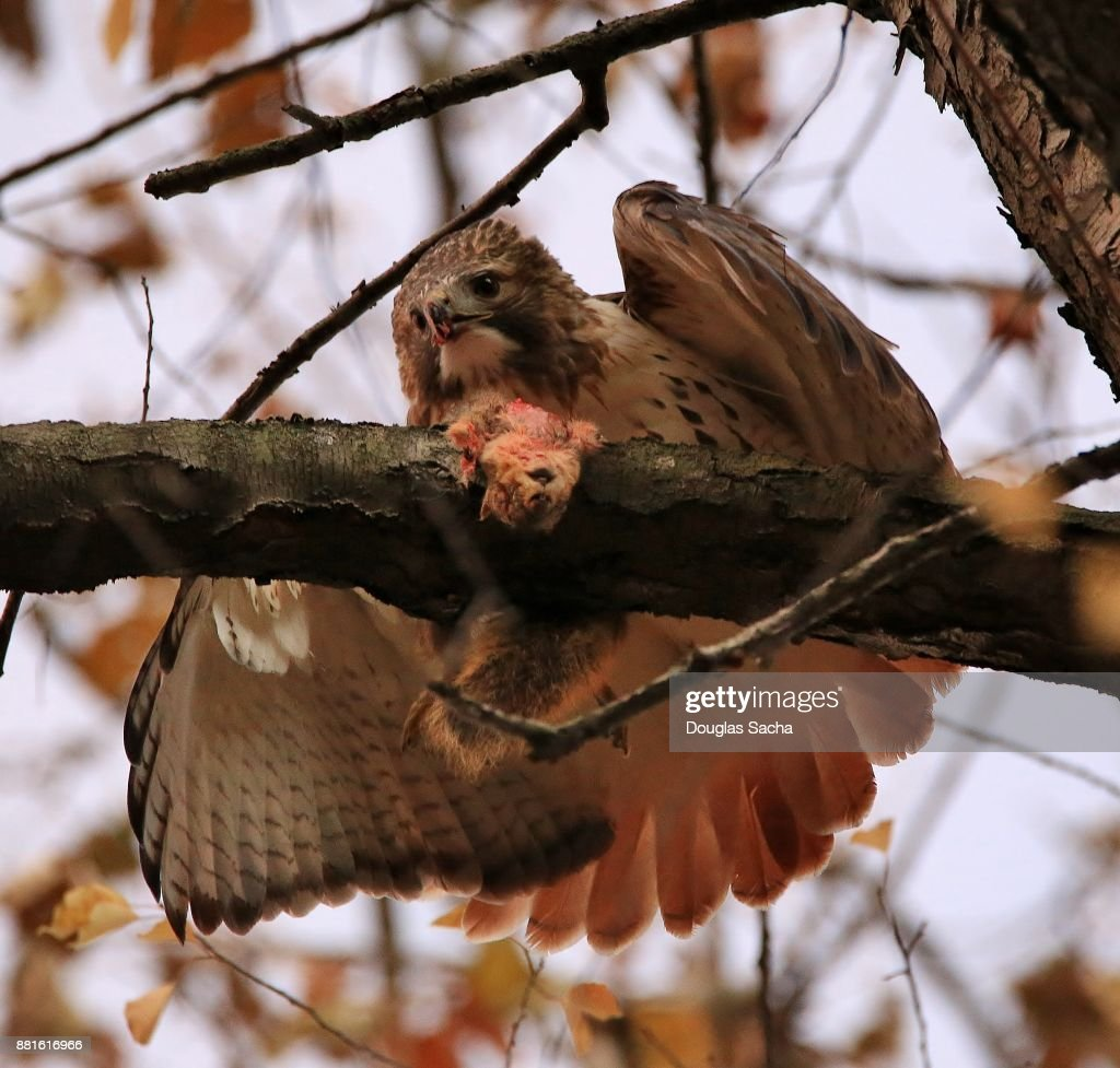 Close-up of a feeding Red-tailed Hawk (Buteo jamaicensis ) : Stock Photo