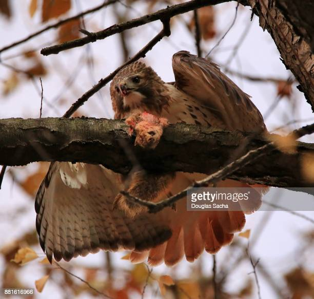close-up of a feeding red-tailed hawk (buteo jamaicensis ) - hawk nest foto e immagini stock
