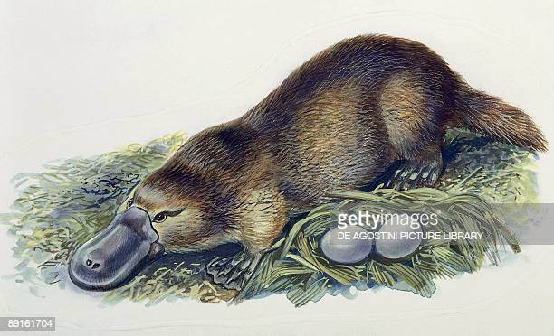 Closeup of a female duckbilled platypus with two eggs