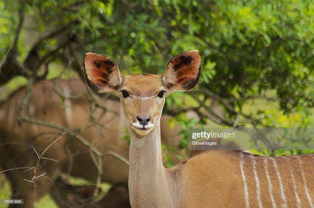 Close-up of a female Kudu (Tragelaphus strepsiceros) in a forest, Kruger National Park, Mpumalanga Province, South Africa : Foto de stock
