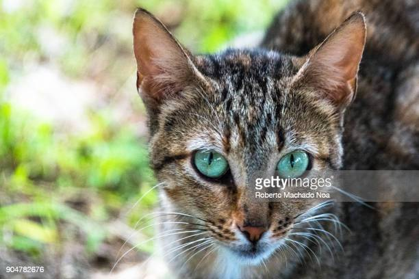 Closeup of a feral cat face Feral cats are domestic cats that have reverted to a wild state or born in it The animal is on field of green grass