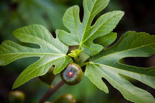 Close-up of a fig on tree - gettyimageskorea
