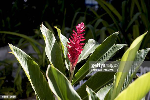 close-up of a flaming torch flower at varadero in matanzas province of cuba - bromeliaceae stock pictures, royalty-free photos & images