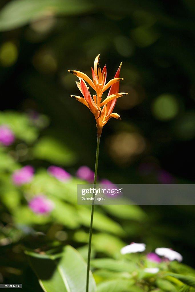 Close-up of a flower in a botanical garden, Hawaii Tropical Botanical Garden, Hilo, Big Island, Hawaii Islands, USA : Stock Photo