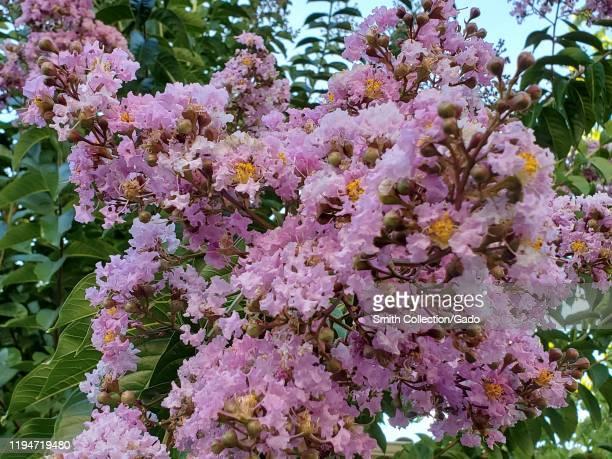Closeup of a flowering crape myrtle tree in San Ramon California August 14 2019