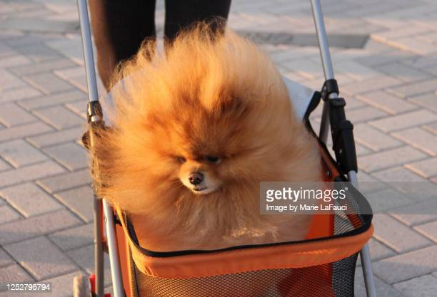 close-up of a fluffy dog in a stroller - bizarre fashion stock pictures, royalty-free photos & images