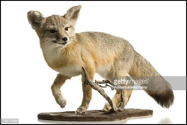 Close-up of a fox