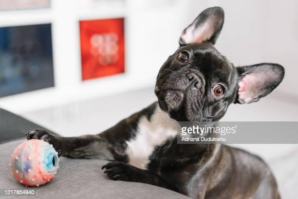 close-up of a french bulldog at home - イヌのおもちゃ ストックフォトと画像