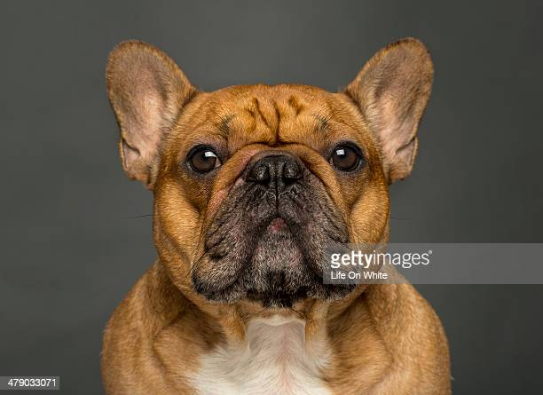 Close-up of a French bulldog, on grey