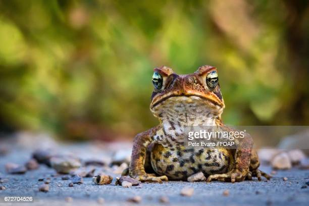 close-up of a frog - cane toad stock pictures, royalty-free photos & images