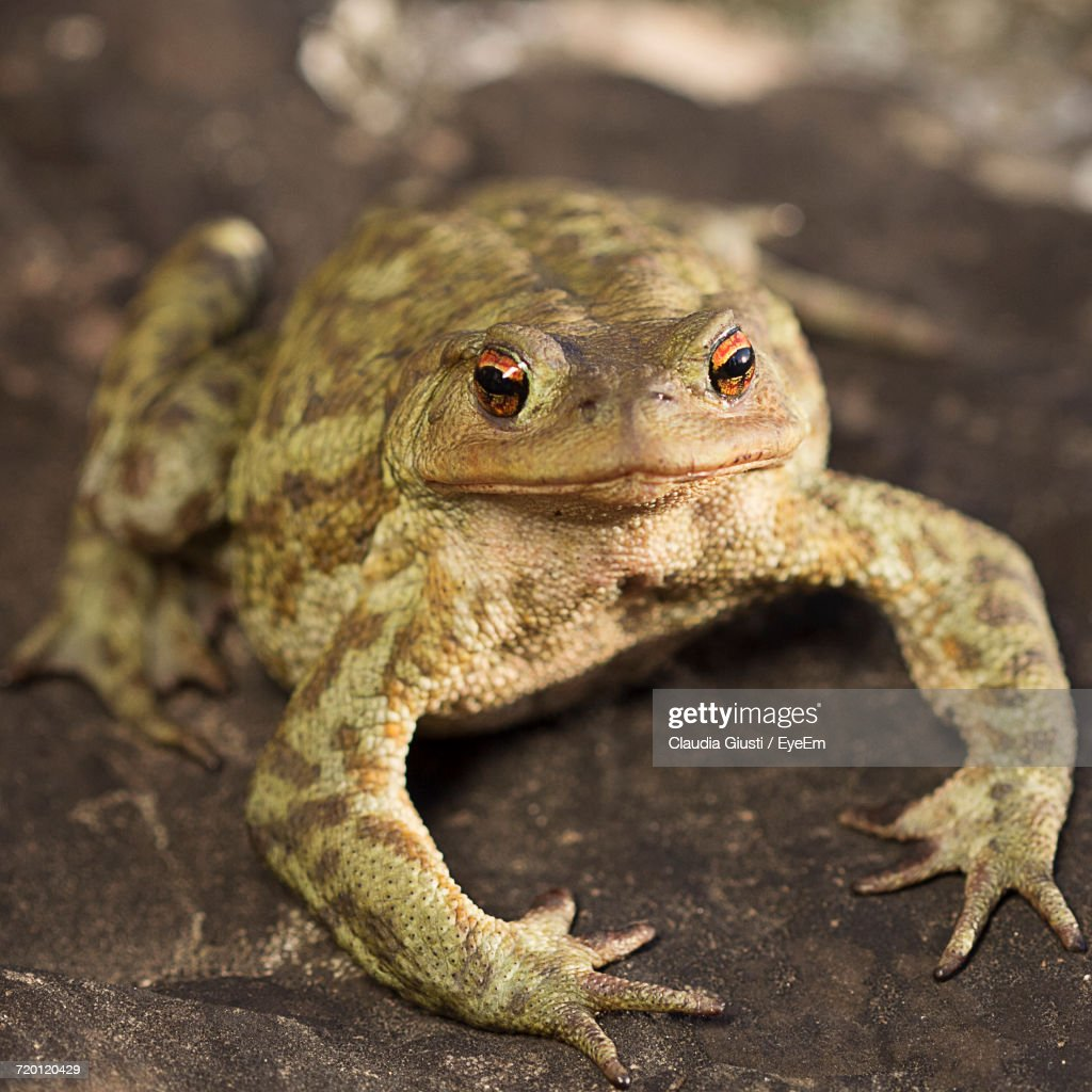 Close-Up Of A Frog : Foto stock