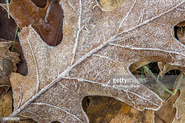 Close-up of a frosted oak tree leave