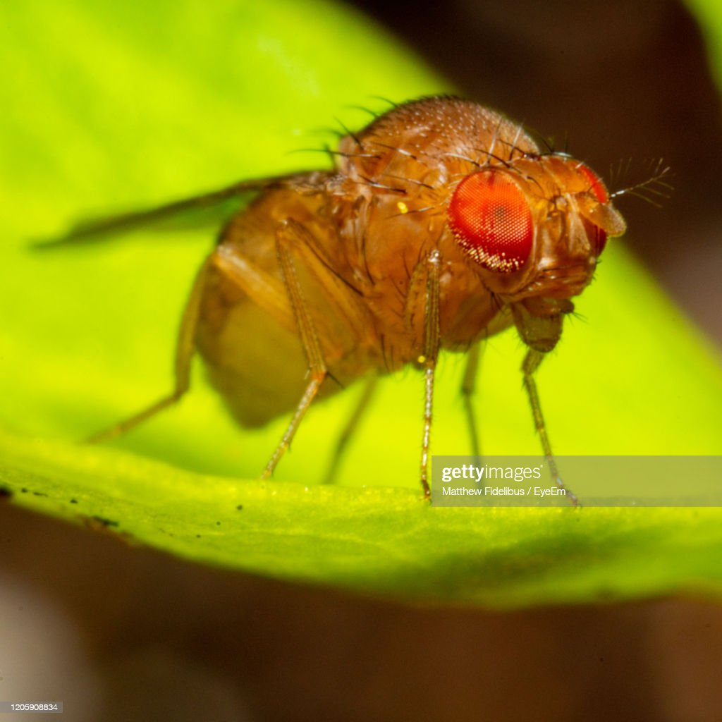Close-Up Of A Fruit Fly On Leaf : Stock Photo