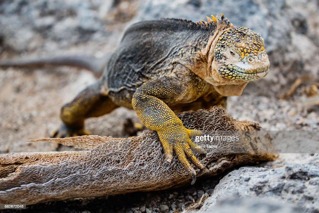 A close-up of a Galapagos land iguana : Stock Photo
