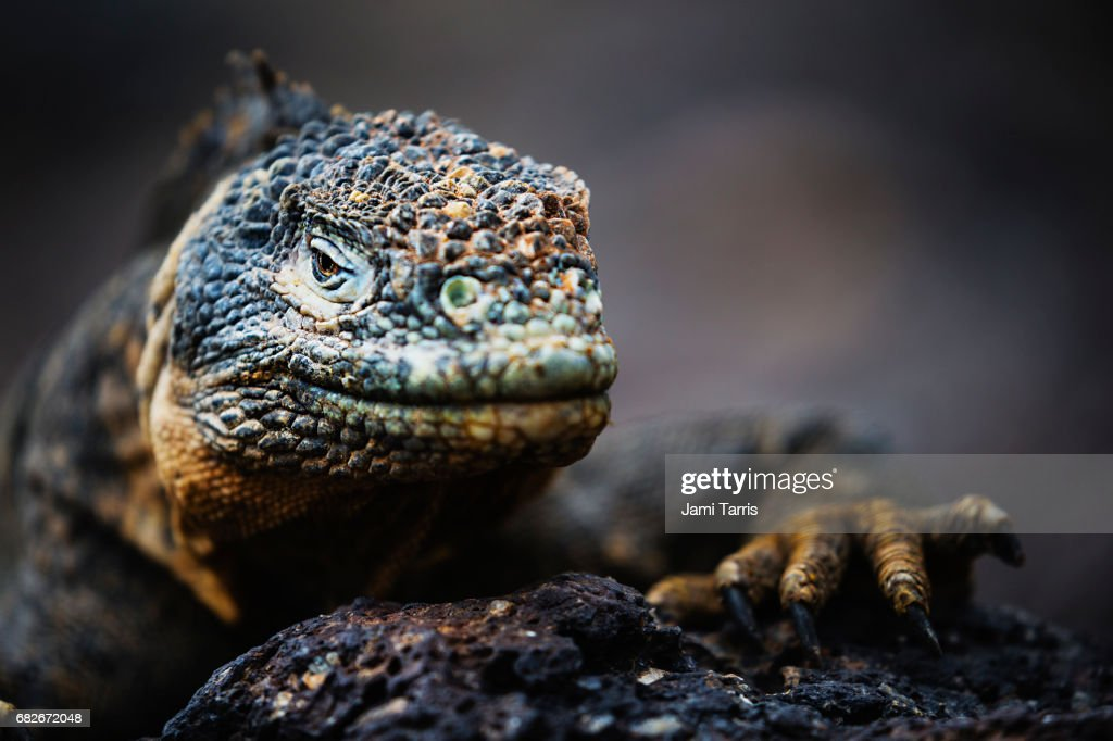 A close-up of a Galapagos land iguana : Stock Photo