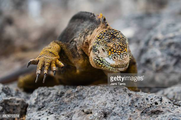 A close-up of a Galapagos land iguana