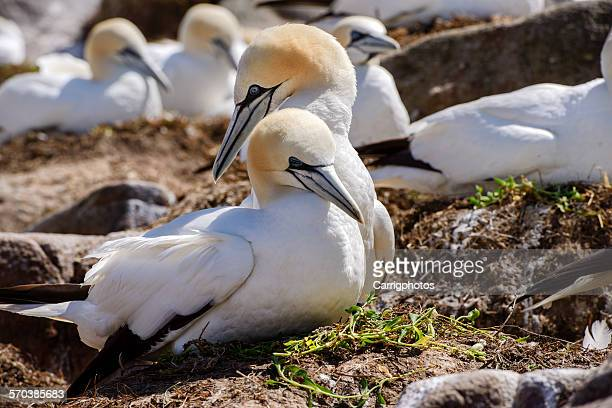 close-up of a gannet pair nesting - gannet stock photos and pictures