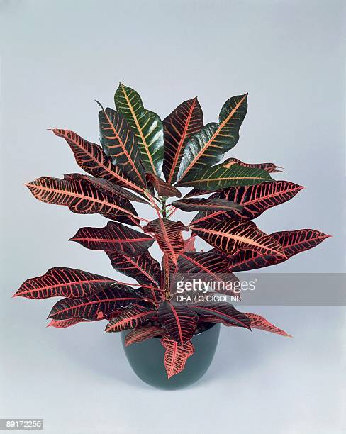 Closeup of a Garden croton