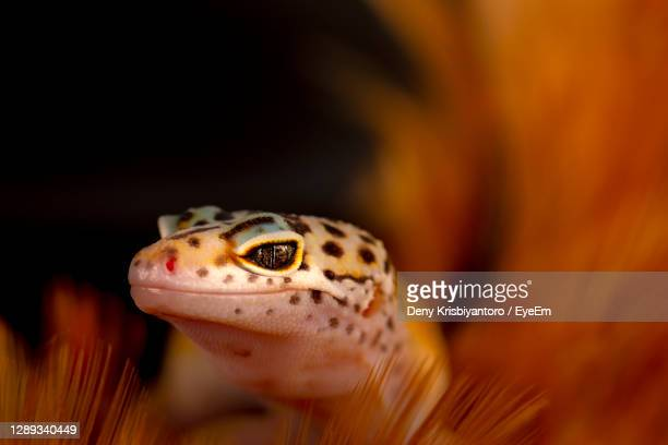 close-up of a gecko - central kalimantan stock pictures, royalty-free photos & images