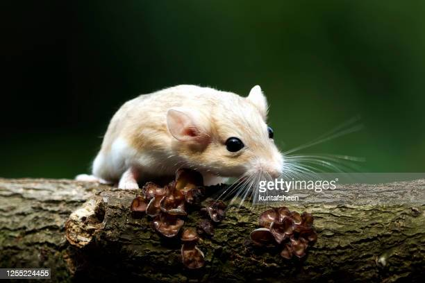 close-up of a gerbil on a tree trunk, indonesia - gerbil stock pictures, royalty-free photos & images