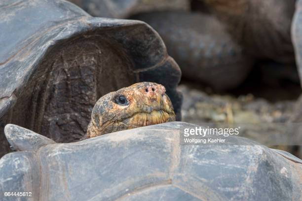 Closeup of a Giant tortoise at the Charles Darwin Research Station in Puerto Ayora on Santa Cruz Island in the Galapagos Islands Ecuador