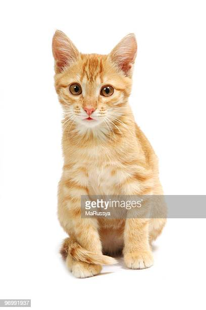 Closeup of a ginger kitten staring into the camera