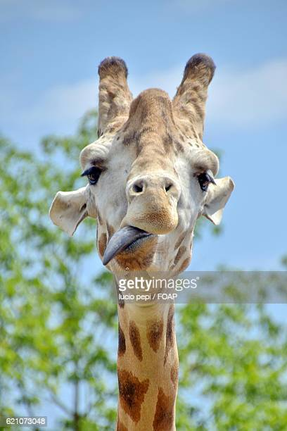 Close-up of a giraffe sticking out tongue