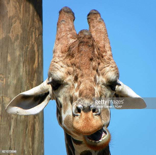 close-up of a giraffe's head - herbivorous stock photos and pictures