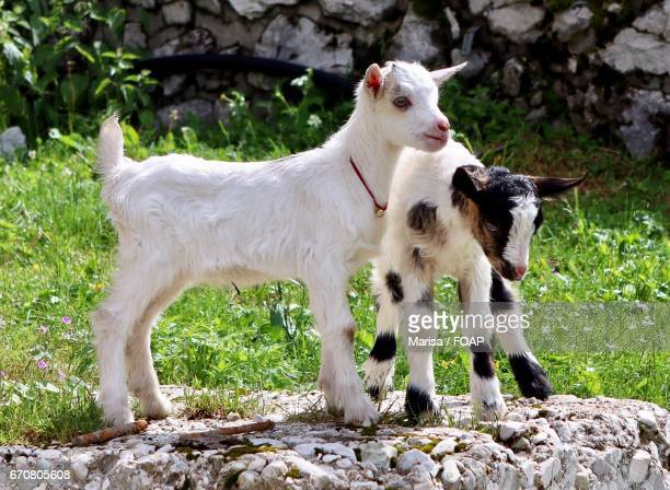 Close-up of a goats standing on rock