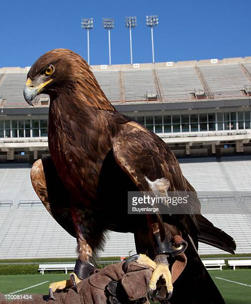 Close-up of a golden eagle that flies at the Auburn University's football game every year, Auburn, Alabama, 2010.